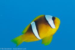 BD-100923-St-Johns-2198-Amphiprion-bicinctus.-Rüppell.-1830-[Twoband-anemonefish.-Tvåbandad-clownfisk].jpg